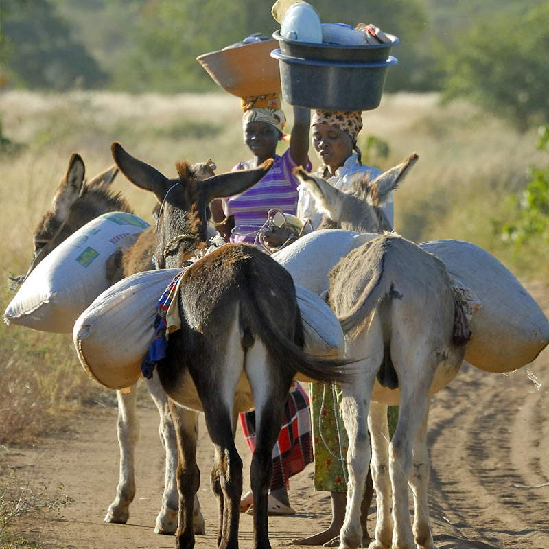 laden donkeys